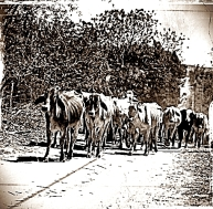 Boiada na região da Fazenda São Domingos, zona rural de Vitória da Conquista.